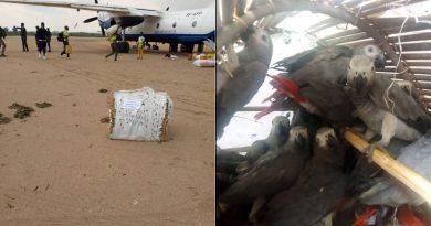 60 perroquets gris saisis à l'aéroport de Lodja dans la province du Sankuru